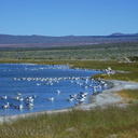 Mono-Lake-california-gulls-feeding-mm4