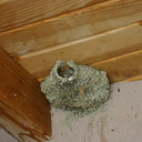 Mono-Lake-cliff-swallows-nesting-mm2