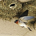 Mono-Lake-cliff-swallows-nesting-mm3