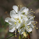 Mono-Lake-crucifer-white-flower indet