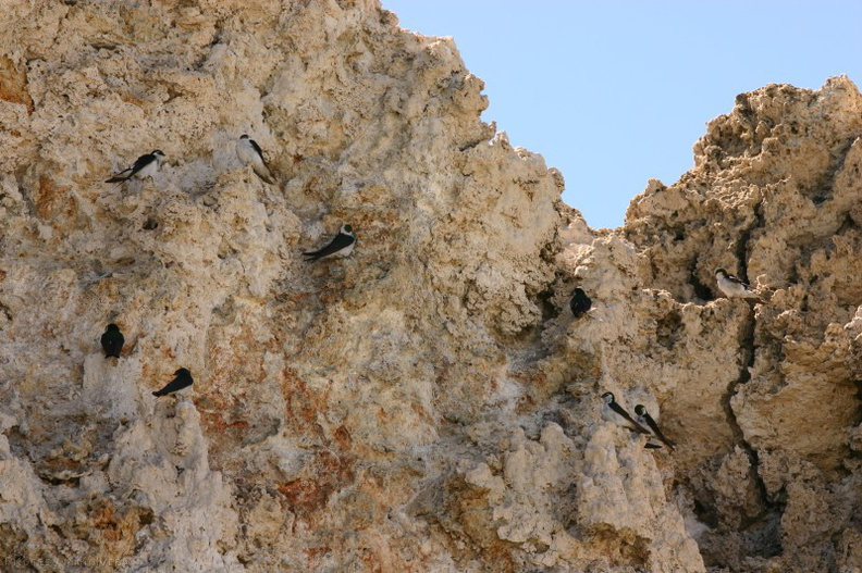 Mono-Lake-violet-green-swallows-nesting-on-tufa-mm2