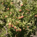 Prunus-andersonii-desert-peach-Mono-Lake-mm