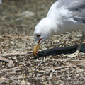 mono-lake-california-gulls-feeding-on-flies-img 4174