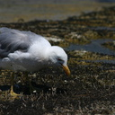 mono-lake-california-gulls-feeding-on-flies-img 4182-sm