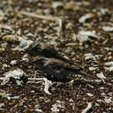 mono-lake-flies-lbbirds-img 4172