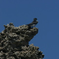 mono-lake-violet-green-swallow-img 4198