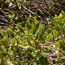 Ceanothus-velutinus-tobacco-brush-inyo craters17