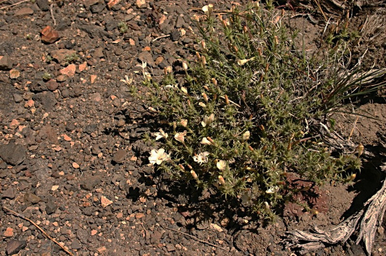 Leptodactylon-pungens-prickly-phlox-inyo-craters7