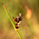 sedges Owens Creek4