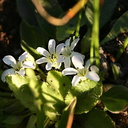 white flower indet1 Owens Creek