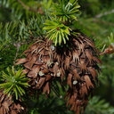 Douglas-fir-cones-Big-Basin-Redwoods-SP-2015-06-01-IMG 0893