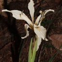 Iris-sp-missouriensis-Rocky-Mountain-iris-Big-Basin-Redwoods-SP-2015-06-01-IMG 0873