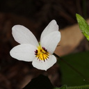 Viola-sp-white-violet-Big-Basin-Redwoods-SP-2015-06-01-IMG 0885