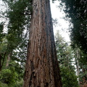 redwood-one-of-the-larger-ones-Big-Basin-Redwoods-SP-2015-06-01-IMG 0847