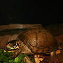 sf-aquarium-box-turtle-2006-06-29