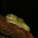 sf-aquarium-green-tree-frog-2006-06-29