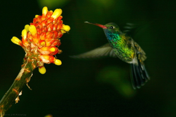 alpinia-and-bonus-broadbill-hummingbird-img 2733-SDzoo