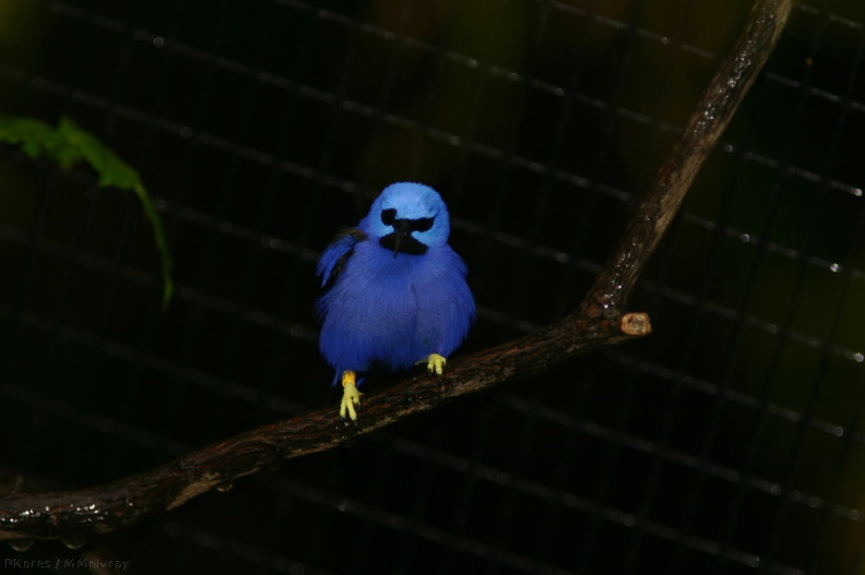 blue-bird-yellow-feet-san-diego-zoo-img_2703.jpg