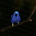 blue-bird-yellow-feet-san-diego-zoo-img 2703