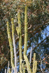cactus-leafed-out-capistrano-img 2615