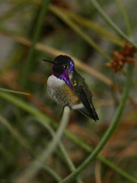 costas-hummingbird-male-4.jpg