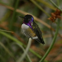 costas-hummingbird-male-4