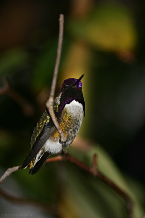 costas-hummingbird-male-7-SDzoo