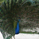 peacock-display-2-SDzoo