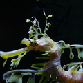 sea-dragon-scripps-img 2647