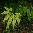 Adiantum-aleuticum-five-fingered-maidenhair-fern-Henry-Cowell-SP-SoBeFree19-2014-03-31-IMG 3489