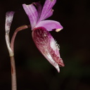 Calypso-bulbosa-orchid-Austin-Creek-SP-2016-03-19-IMG 3020