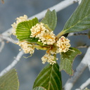 Cercocarpus-betuloides-birch-leaved-mountain-mahogany-riverbank-rte38-San-Bernardino-Natl-Forest-2015-03-28-IMG 4573