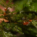 Dendroalsia-abietina-with-capsules-moss-Fall-Creek-Henry-Cowell-SP-SoBeFree19-2014-03-31-IMG 0041