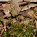 Ditrichum-sp-moss-Austin-Creek-SP-2016-03-19-IMG 2994