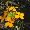 Erysimum-capitatum-Western-wallflower-riverbank-rte38-San-Bernardino-Natl-Forest-2015-03-28-IMG 4585