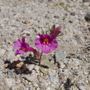 Mimulus-fremontii-purple-monkeyflower-N4-near-rte138-2015-03-30-IMG 4827