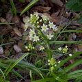 Toxicoscordion-sp-death-camas-Austin-Creek-SP-2016-03-19-IMG 6635