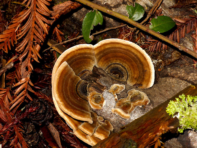 bracket-fungus-Big-Basin-Redwoods-SP-SoBeFree19-2014-03-29-IMG_3469.jpg