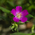 Calandrinia-ciliate-red-maids-vernal-pools-Santa-Rosa-Preserve-2011-03-16-IMG 1794