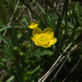 Caltha-palustris-marsh-marigold-vernal-pools-Santa-Rosa-Preserve-2011-03-16-IMG 7249