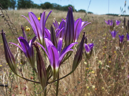 Brodiaea-elegans-meadows-Hwy-120-W-of-Yosemite-2010-05-23-IMG 5515