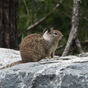 California-ground-squirrel-Spermophilus-beecheyi-at-Tunnel-View-Yosemite-2010-05-26-IMG 5897