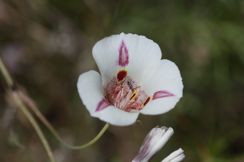 Calochortus-superbus-mariposa-meadows-Hwy-120-W-of-Yosemite-2010-05-23-IMG_0806.jpg