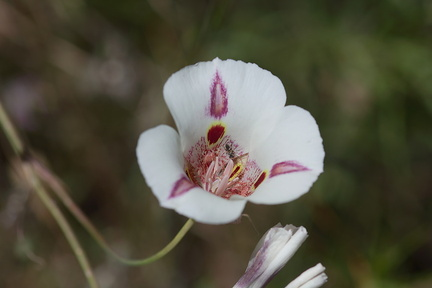 Calochortus-superbus-mariposa-meadows-Hwy-120-W-of-Yosemite-2010-05-23-IMG 0806