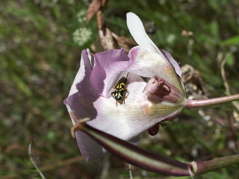 Calochortus-superbus-mariposa-meadows-Hwy-120-W-of-Yosemite-2010-05-23-IMG_5531.jpg