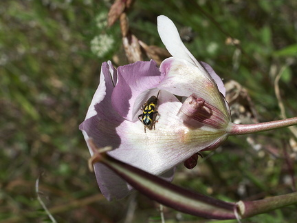 Calochortus-superbus-mariposa-meadows-Hwy-120-W-of-Yosemite-2010-05-23-IMG 5531
