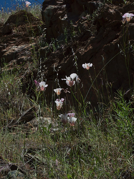 Calochortus-superbus-mariposa-meadows-Hwy-120-W-of-Yosemite-2010-05-23-IMG_5532.jpg