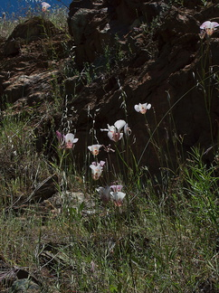 Calochortus-superbus-mariposa-meadows-Hwy-120-W-of-Yosemite-2010-05-23-IMG 5532