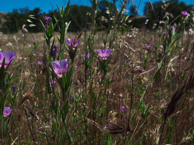 Clarkia-williamsonii-Fort-Miller-fairyfan-meadows-Hwy-120-W-of-Yosemite-2010-05-23-IMG_5511.jpg