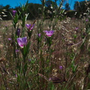 Clarkia-williamsonii-Fort-Miller-fairyfan-meadows-Hwy-120-W-of-Yosemite-2010-05-23-IMG 5511